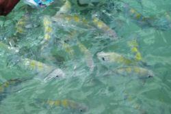 Contato direto com diversas éspecies de peixes